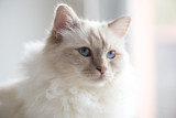 Portrait of beautiful sacred cat of burma - 242110359