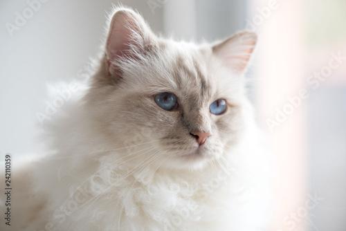 Leinwandbild Motiv Portrait of beautiful sacred cat of burma
