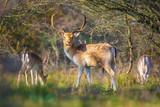 Fallow deer Dama Dama stag in Autumn