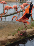 Flamingo with raised wings, water, stone, waves wings.