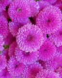 violet colored chrysanthemum flowers seamless pattern - 242115507