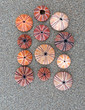 Quadro colorful sea urchins shells on wet sand beach top view