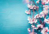 Pretty spring cherry blossom branches on turquoise blue background with copy space for your design. Springtime holidays and nature concept - 242116703