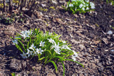 white snowdrop, spring flower bloomed in the garden, a symbol of spring