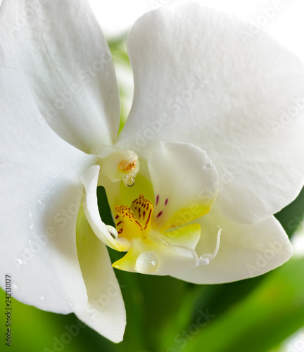 White orchid flower close-up isolated on white - 242130177