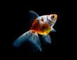 Leinwanddruck Bild - goldfish isolated on a dark black background