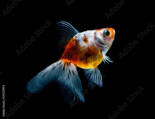 Leinwanddruck Bild goldfish isolated on a dark black background