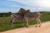 Fototapeta Fototapeta z zebrą - Zebra Addo #2 © Tim