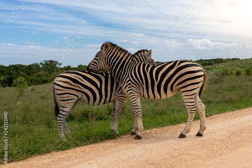 Zebra Addo #2 - 242133940