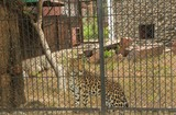 Leopard in a cage in the zoo - 242135509