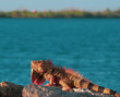Portrait of Colorful Iguana laying on Rock