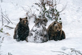 brown bear in the snow - 242143778