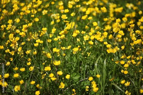 Foto Murales Fild of yellow flowers