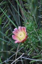 "Постер, картина, фотообои ""The beautiful Cactus flower in garden"""