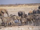 Fototapeta Fototapeta z zebrą - Etosha national park Animales © Paolo