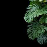 Green monstera philodendron tropical plant leaves vine on dark background with copy space