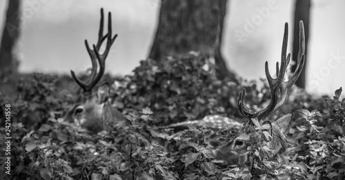 Deer Black and White - 242161558