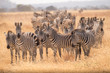 Zebra Migration 2