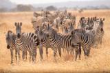 Fototapeta Fototapeta z zebrą - Zebra Migration 2 © Massimiliano
