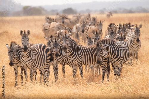Zebra Migration 2 - 242167936