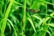 Leinwandbild Motiv Dragonfly, lat. Lestes dryas , sitting on the green grass, swaying wind on a summer day.