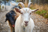 White goat closeup - 242181775