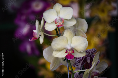 orchid on a background - 242188191