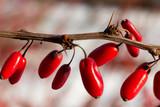 Czerwona nasiona krzewu na gałązce - 242191797