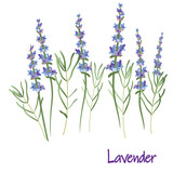 lavender flowers, vector drawing medicinal plant botanical illustration, isolated floral element - Vector - 242191961