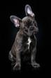 Leinwanddruck Bild - French bulldog puppy sitting on black background
