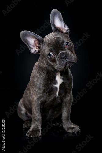 Leinwanddruck Bild French bulldog puppy sitting on black background