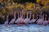 Les flamants roses dans l'étang. Coucher de soleil. Camargue, France.