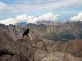 Oiseau au sommet du Monte Cinto en Corse - 242196185