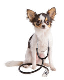 Chihuahua with stethoscope