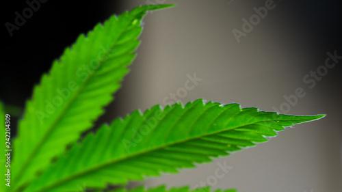 Cannabis Leaf Marijuana Weed - 242204309
