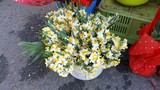 The beautiful Narcissus flower in garden