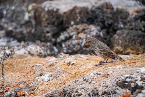 Foto Murales Galapagos Finch Geospiza fortis male perched on a rock in Santa Cruz, Galapagos Islands