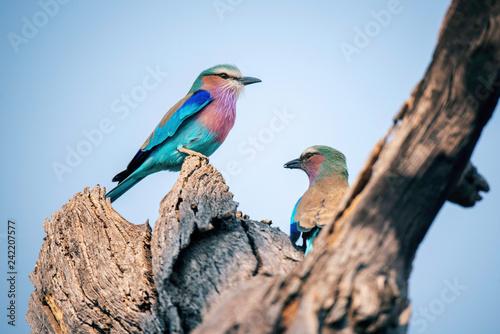 Gabelracken Pärchen, Savuti Camp, Chobe National Park, Botswana