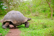Leinwanddruck Bild - A giant Galapagos turtle, Galapagos islands, South America