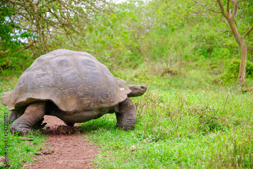 Leinwanddruck Bild A giant Galapagos turtle, Galapagos islands, South America