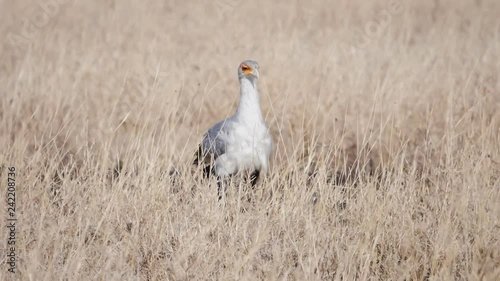 17% slow motion tracking shot of a secretary bird at serengeti national park in tanzania