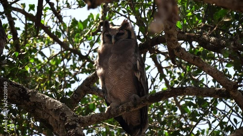 large verreaux's eagle-owl resting in a tree at serengeti national park in tanzania, africa