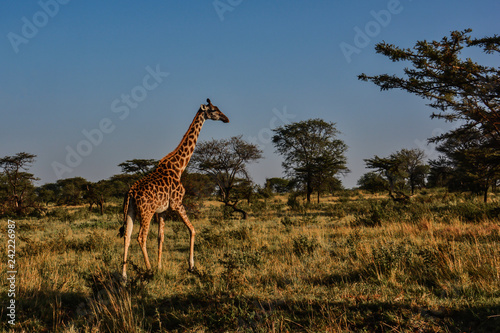 Early morning sunlight shining on a giraffe walking through the grasses and Acacia tress in Serengeti Tanzania