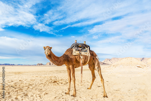 Image of camel in desert Wadi Rum, Jordan.