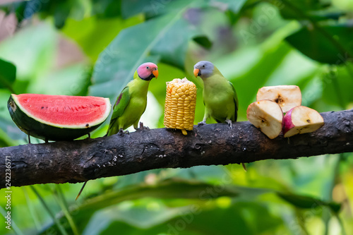 Blossom-headed Parakeet both male and female feeding on corn on a