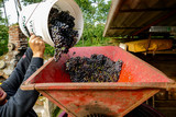 Grapes harvest of vineyard in september north italy, red grapes for wine - 242238572