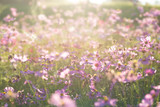 Fototapeta Kosmos - Pink cosmos flower field with sunlight © nungning20