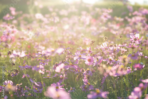 Pink cosmos flower field with sunlight - 242245125