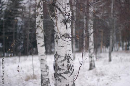 Birch tree - 242251167