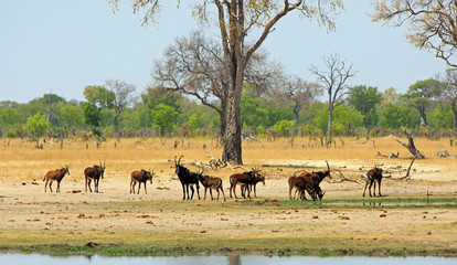 Large Herd of Sable Antelope standing on the open plains in Hwange National park, with a natural bushveld background